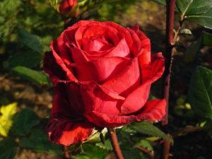 Как укрывать розы в условиях Сибири