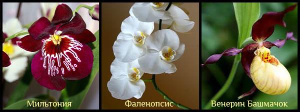 Первый вид орхидей