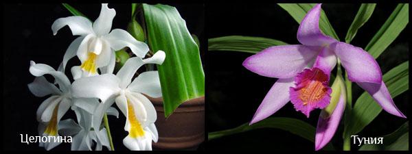 Третий вид орхидей