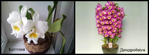 Второй вид орхидей