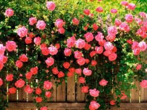 Розы - посадка и уход