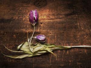 Засохший тюльпан