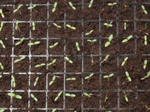 Посев семян альстромерии